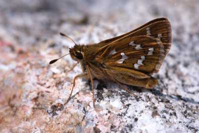 Hesperia comma laurentina